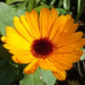 Calendula Green Cure