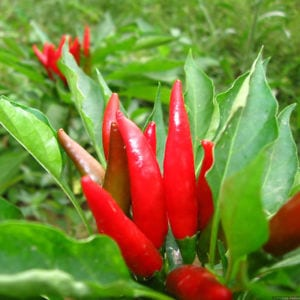CAPSICUM Green Cure