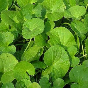 CENTELLA ASIATICA Green Cure