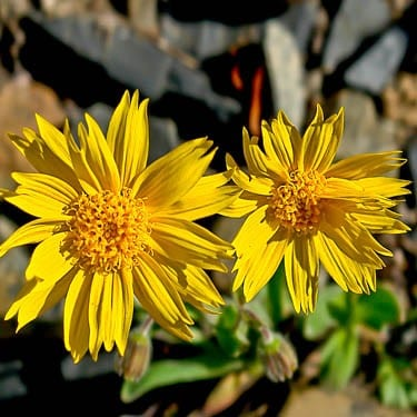 Benefits of Arnica
